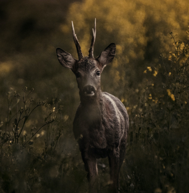 Animaux Foret Cerf Ferme 30 Arpents Cellier © Christophe Meireis